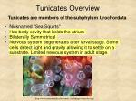 tunicates overview