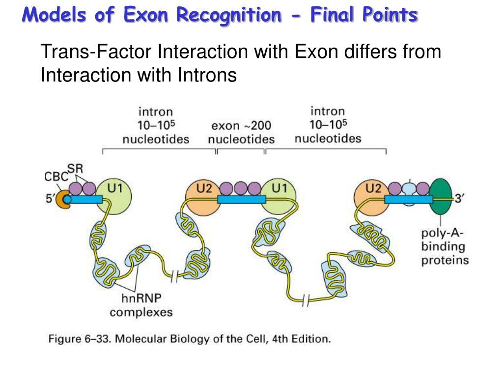 Models of Exon Recognition - Final Points