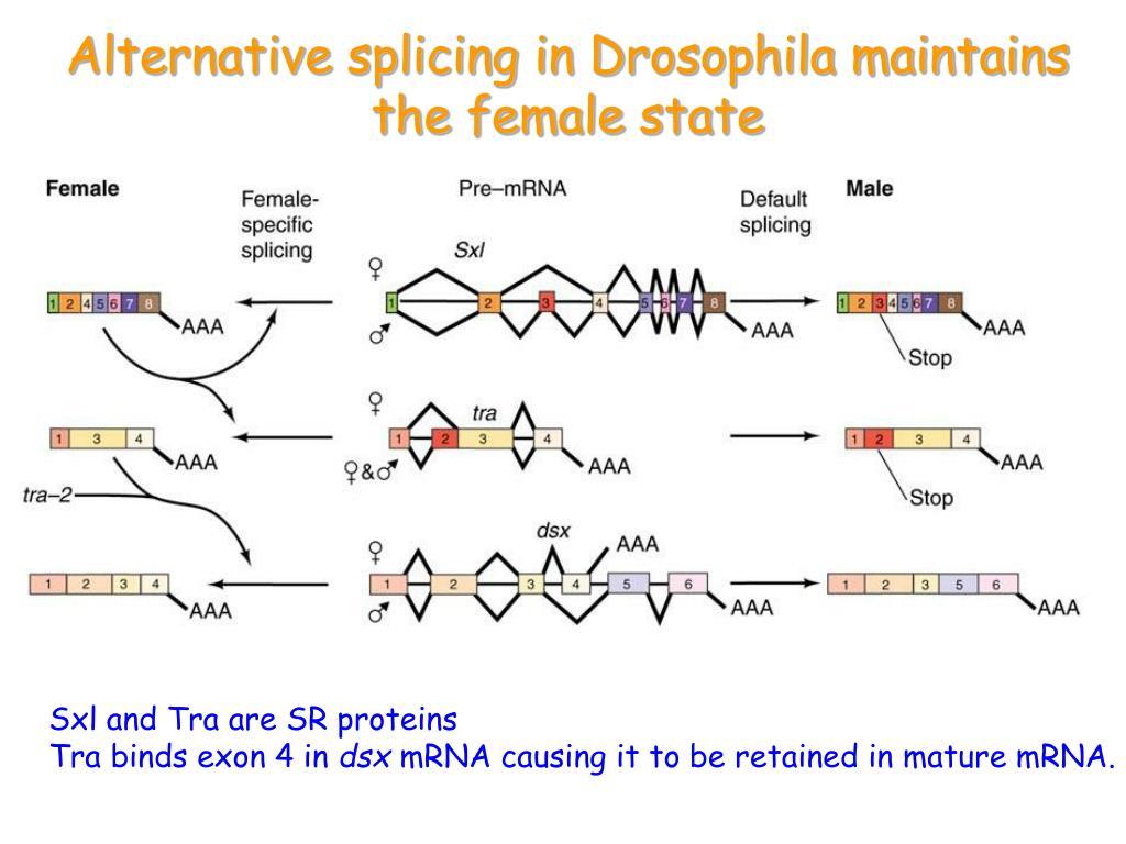 Alternative splicing in Drosophila maintains the female state