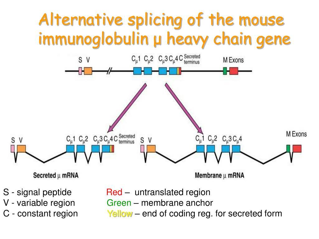 Alternative splicing of the mouse immunoglobulin μ heavy chain gene