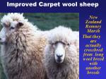 improved carpet wool sheep