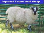 improved carpet wool sheep19