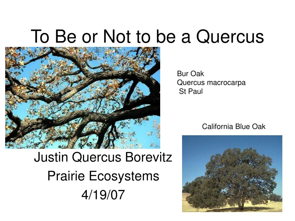 to be or not to be a quercus l.