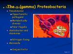 the gamma proteobacteria16
