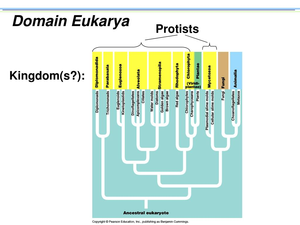 domain eukarya l.