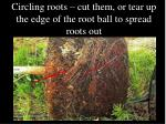 circling roots cut them or tear up the edge of the root ball to spread roots out