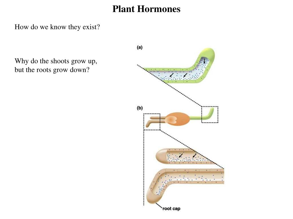 plant hormones l.