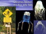 chironex fleckeri the box jelly fish