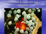 clown fish eggs with sea anemone