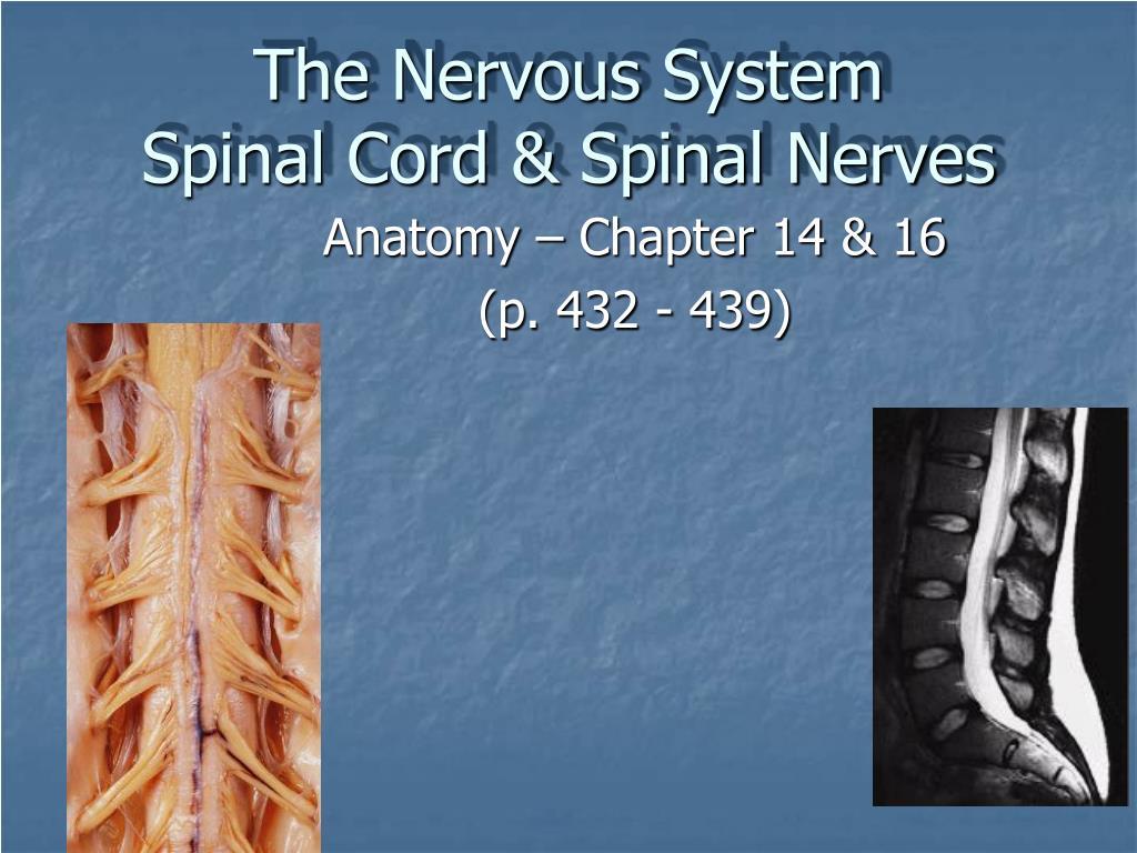 the nervous system spinal cord spinal nerves l.