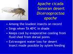 apache cicada sonoran desert dicerooproctoa apache
