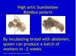 high artic bumblebee bombus polaris