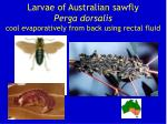 larvae of australian sawfly perga dorsalis cool evaporatively from back using rectal fluid