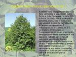 carpino nero ostrya carpinifolia scop