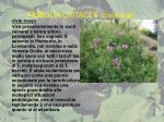famiglia cistacee cistaceae