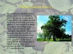 farnia quercus robur l