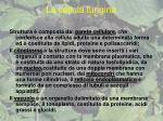 la cellula fungina