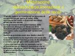 maturazione dell ascocarpo liberazione e germinazione delle spore