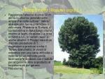 pioppo nero populus nigra l