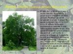 rovere o ischia quercus petraea mattuschka