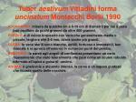 tuber aestivum vittadini forma uncinatum montecchi borlli 1990