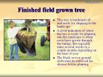 finished field grown tree