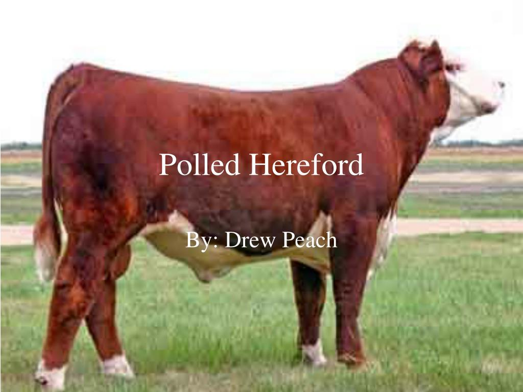 polled hereford l.