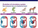 evolution of circulatory system
