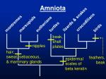 amniota