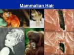 mammalian hair