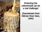 protecting the cottonwoods can be a real challenge downstream from oldman river dam 1994