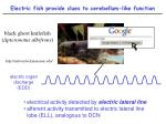electric fish provide clues to cerebellum like function