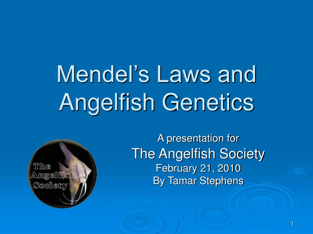 mendel s laws and angelfish genetics l.