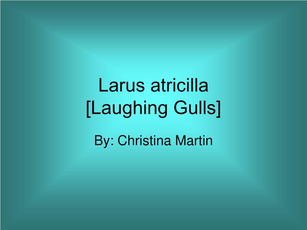 larus atricilla laughing gulls l.
