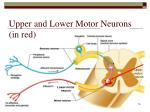 upper and lower motor neurons in red