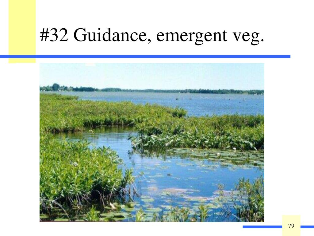 The erosive strength of waves and currents can be greatly dissipated by a dense, emergent vegetation cover. In addition, species with stronger stems will provide greater protection than weak-stemmed species. The greater the vegetation density, the greater the shoreline protection.