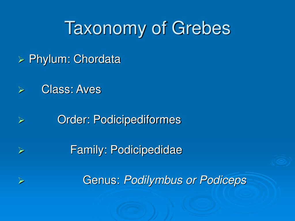 Taxonomy of Grebes