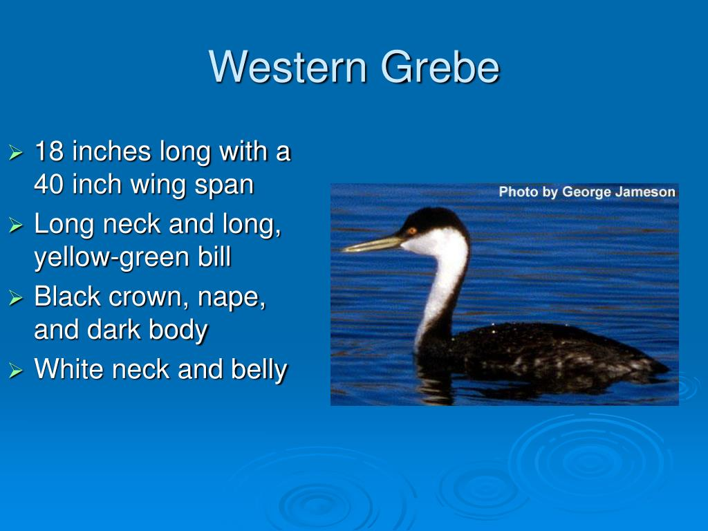 Western Grebe