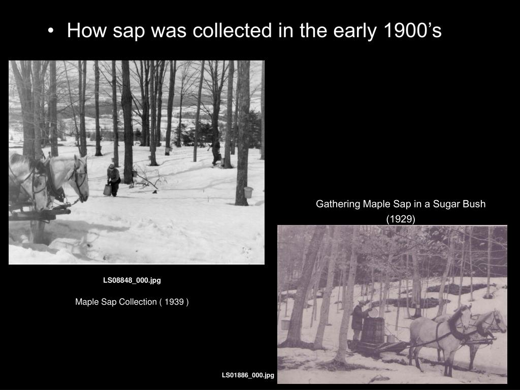 How sap was collected in the early 1900's