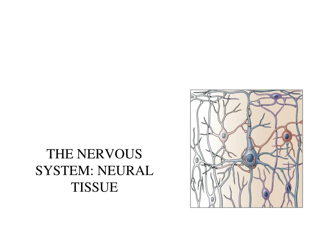 the nervous system neural tissue l.