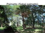 palmetto sabal palmetto