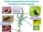 purple loosestrife and introduced biological control agents