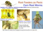 root feeders as pests corn root worms