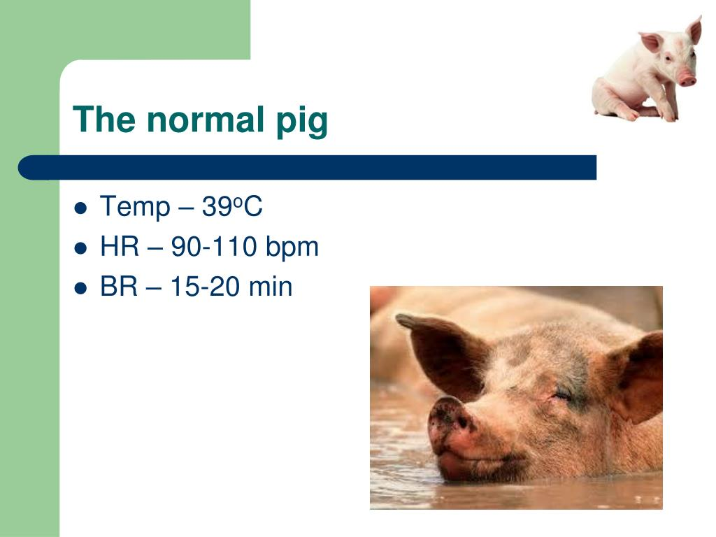 The normal pig