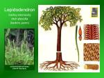 lepidodendron fos lny stromovit druh plav a karb n perm