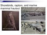 shorebirds raptors and marine mammal haulout