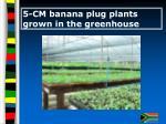 5 cm banana plug plants grown in the greenhouse
