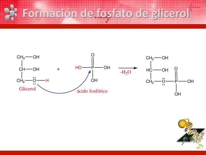 Formaci n de fosfato de glicerol