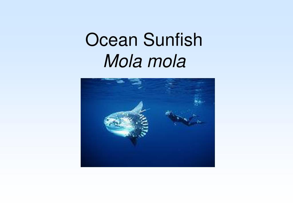 ocean sunfish mola mola l.