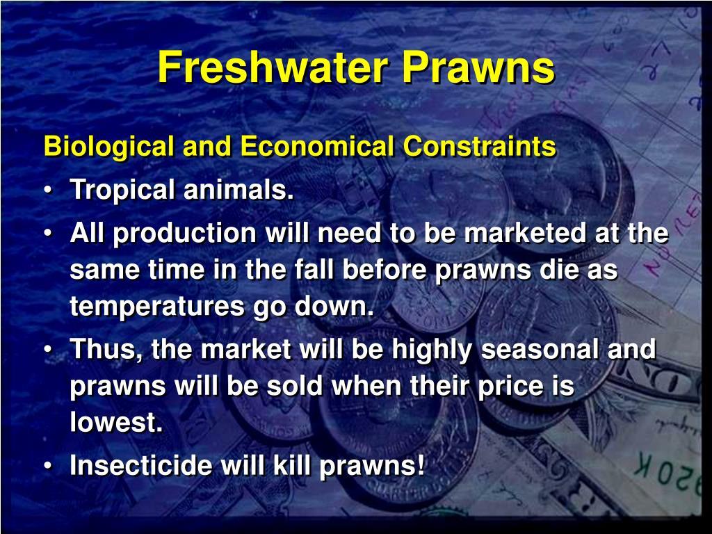 Freshwater Prawns